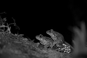 Common midwife toad (Alytes obstetricans) pair mating at night, eggs visible, take with infra red camera, France. April.  -  Eric  Medard