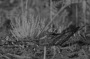 Nightjar (Caprimulgus europaeus) at night, taken with infra red camera. France. June.  -  Eric  Medard