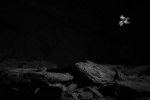 Storm petrel (Hydrobates pelagicus) in flight at night, infra-red picture, Wales, UK, July  -  Eric  Medard