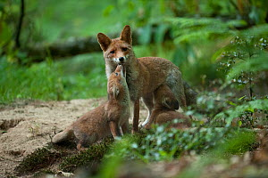 Red fox (Vulpes vulpes) mother with cubs, one suckling, forest, France. May.  -  Eric  Medard