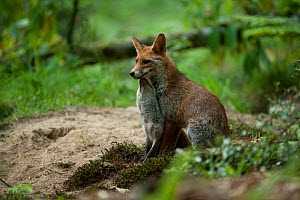 Red fox (Vulpes vulpes) female with cub in forest, France. May.  -  Eric  Medard