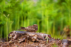 Nightjar (Caprimulgus europaeus) resting during the day, France. June. - Eric  Medard