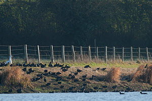 Eurasian coot (Fulica atra) group on river bank with Domestic goose (Anser anser domesticus) France December.  -  Eric  Medard