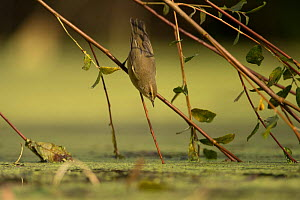 Common chiffchaff (Phylloscopus collybita) reaching down to water from willow branch, France. September.  -  Eric  Medard