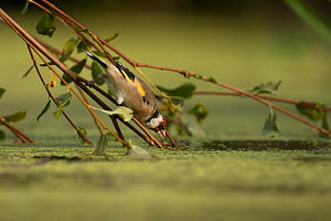 European goldfinch (Carduelis carduelis) drinking, France. September. - Eric  Medard