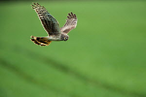 Hen harrier (Circus cyaneus) female in flight, Mayenne, France. March. - Eric  Medard