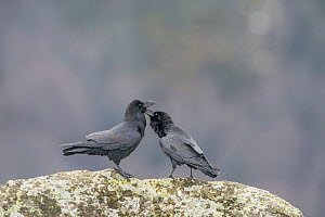 Common ravens (Corvus corax) preening each other, Pyrenees, France. March.  -  Eric  Medard