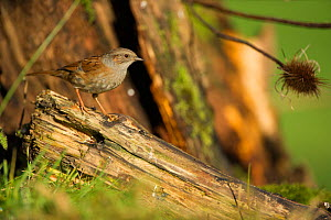 Dunnock (Prunella modularis) perched on log, France, December.  -  Eric  Medard