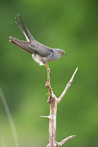 Cuckoo (Cuculus canorus) perched, France. May.  -  Eric  Medard