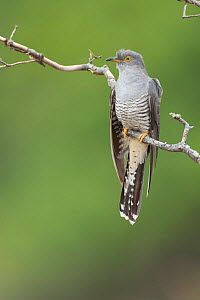 Cuckoo (Cuculus canorus) perched, France May.  -  Eric  Medard
