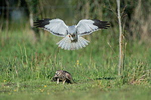 Hen harrier (Circus cyaneus) male landing next to female, Mayenne, France. May.  -  Eric  Medard