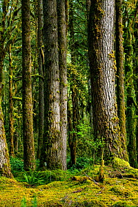 Rainforest at Graves Creek along the Quinault River Valley in Olympic National Park, USA, April.  -  Kirkendall-Spring