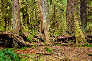 Row of trees which have grown from a fallen nurse log, Spruce Loop, Hoh Rain Forest of Olympic National Park, Washington, USA, April. - Kirkendall-Spring