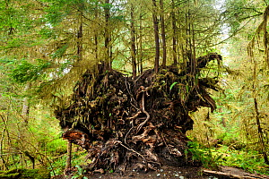 Trees growing from the root ball of a fallen tree, Spruce Loop in the Hoh Rain Forest, Olympic National Park, Washington, USA, April. - Kirkendall-Spring