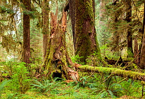 Forest along the Spruce Loop in the Hoh Rain Forest, Olympic National Park, Washington, USA, April. - Kirkendall-Spring