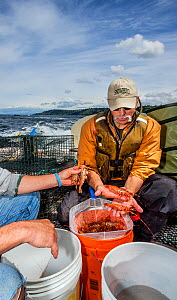 Men sorting and counting shrimp caught in the Puget Sound near the City of Edmonds, Washington, USA, May 2018. - Kirkendall-Spring