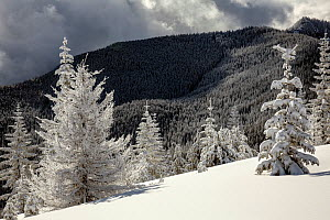 Snow covered trees on Suntop Mountain in the Baker-Snoqualmie National Forest, Washington, USA, February 2018. - Kirkendall-Spring