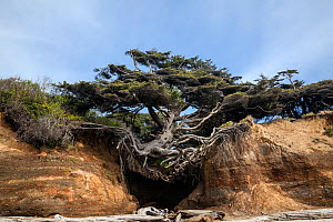 Tree on a overhanging cliff wall along Kalaloch Beach in Olympic National Park, Washington, USA, April 2018.  -  Kirkendall-Spring