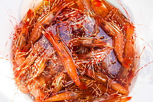 Bucket of shrimp caught in the Puget Sound, Washington, USA, May. - Kirkendall-Spring