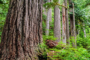 Large trees along the Twin Firs Trail in the Nisqually River Valley of Mount Rainier National Park, USA, June. - Kirkendall-Spring