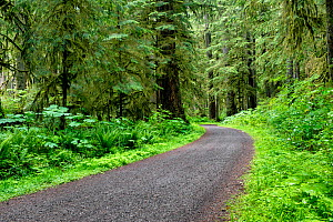 Carbon River Road in Mount Rainier National Park, now a trail open for walking and cycling, Washington, USA, June. - Kirkendall-Spring