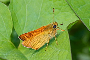 Large skipper butterfly (Ochlodes sylvanus) male, Brockley Cemetery, Lewisham, London, England, UK. June. - Rod Williams