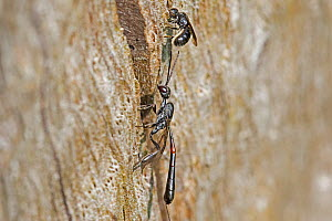 Parasitic wasp (Gasteruption jaculator)  female  with a male above  on a tree trunk in Warwick Gardens, Peckham, London, England, UK. July.  -  Rod Williams