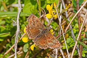 Dingy skipper moth (Erynnis tages) Hutchinson's Bank,New Addington, London, England, UK. May. - Rod Williams