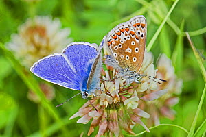 Common blue butterflies  (Polyommatus icarus)  mating pair on Clover (Trifolium) Sutcliffe Park Nature Reserve, Eltham, London, England, UK. May.  -  Rod Williams