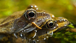 Panning shot of a pair of Common frogs (Rana temporaria) in amplexus, Birmingham, England, UK, March.  -  Steve Downer