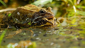 Pair of Common frogs (Rana temporaria) in amplexus amongst partly developed frogspawn, Birmingham, England, UK, March.  -  Steve Downer