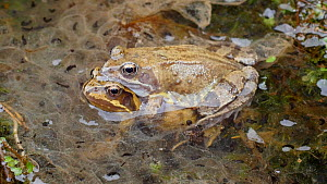 Pair of Common frogs (Rana temporaria) in amplexus amongst frogspawn, Birmingham, England, UK, March.  -  Steve Downer