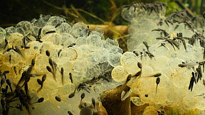 Newly hatched Common frog (Rana temporaria) tadpoles feeding on egg cases, UK, March.  Controlled conditions.  -  Steve Downer