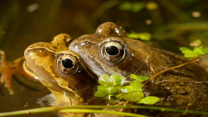 Pair of Common frogs (Rana temporaria) in amplexus, Birmingham, England, UK, March. - Steve Downer