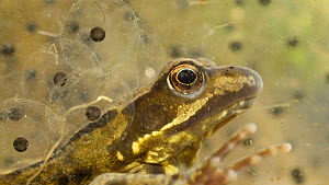 Common frog (Rana temporaria) underwater with frogspawn, UK, March. Controlled conditions  -  Steve Downer