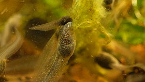 Common frog (Rana temporaria) tadpoles feeding on pond weed, UK, May. Controlled conditions  -  Steve Downer