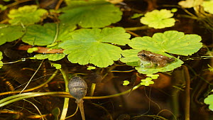 Juvenile Common frog (Rana temporaria) sat on a lily pad, with tadpoles feeding underneath, UK, June.  -  Steve Downer