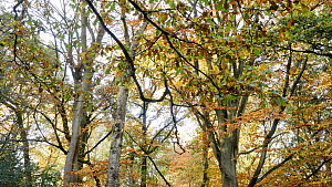 Beech tree (Fagus sylvatica) forest in autumn, Clowes Wood, Birmingham, England, UK, November.  -  Steve Downer