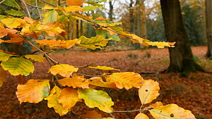 Beech tree (Fagus sylcatica) leaves in autumn, Clowes Wood, Solihull, West Midlands, England, UK, November.  -  Steve Downer