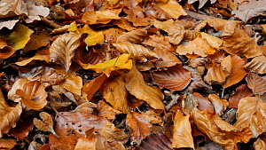 Tracking shot of leaflitter in a Beech (Fagus sylvatica) forest, Clowes Wood, Solihull, West Midlands, England, UK, November.  -  Steve Downer