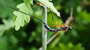 Female Giant ichneumon (Rhyssa persuasoria) cleaning its antennae on an Oak (Quercus) leaf, UK, June.  -  Steve Downer