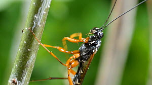 Female Giant ichneumon (Rhyssa persuasoria) cleaning its front legs on an Oak (Quercus) twig, UK, June.  -  Steve Downer