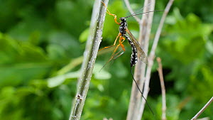 Female Giant ichneumon (Rhyssa persuasoria) cleaning its back legs on an Oak (Quercus) leaf, UK, June.  -  Steve Downer