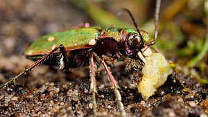 Green tiger beetle (Cicindela campestrus) feeding on caterpillar, UK, June.  -  Steve Downer