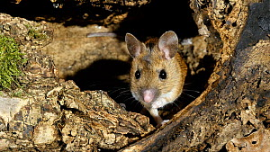 Wood mouse (Apodemus sylvaticus) at burrow entance,  UK, March. Captive.  -  Steve Downer