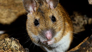 Wood mouse (Apodemus sylvaticus) grooming,  UK, March. Captive.  -  Steve Downer