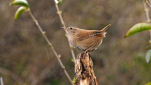 Wren (Troglodytes troglodytes) on tree stump in snow shower, March.  -  Steve Downer