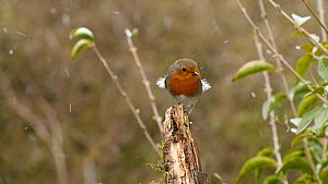 Robin (Erithacus rubecula) in snow shower, Birmingham, England, UK, January. - Steve Downer