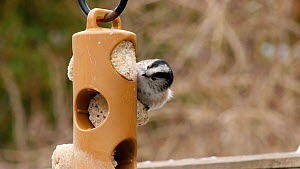 Long tailed tits (Aegithalos caudatus) feeding on suet bird feeder, Birmingham, England, UK, March. - Steve Downer