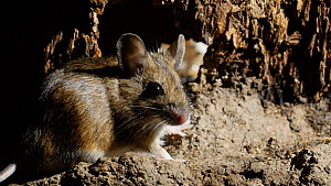 Wood mouse (Apodemus sylvaticus) grooming and looking around in burrow interior,  UK, March. Captive. - Steve Downer